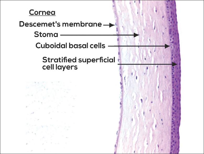 Anatomy Of Cornea And Ocular Surface Sridhar Ms Indian J Ophthalmol