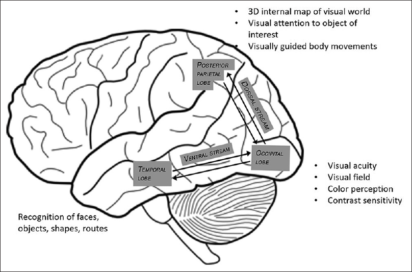 Figure 1: Showing the three visual brain areas, and the connecting dorsal, and ventral streams